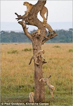 cheetah cubs 04