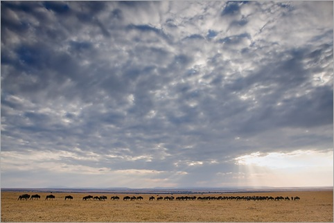 Migrating-Wildebeest-Masai-Mara-Kenya 01