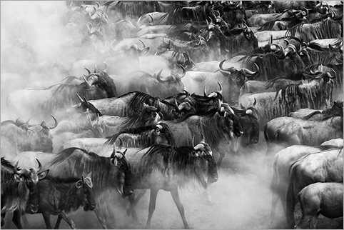 BW-Wildebeest-in-dust-clouds-massed-together-on-the-banks-of-the-Mara-river-Masai-Mara-Kenya 01