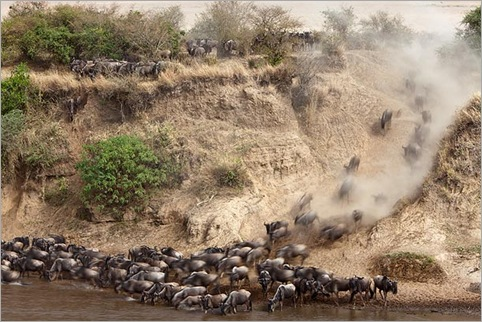 Wildebeest-charging-down-river-bank-Masai-Mara-Kenya 01