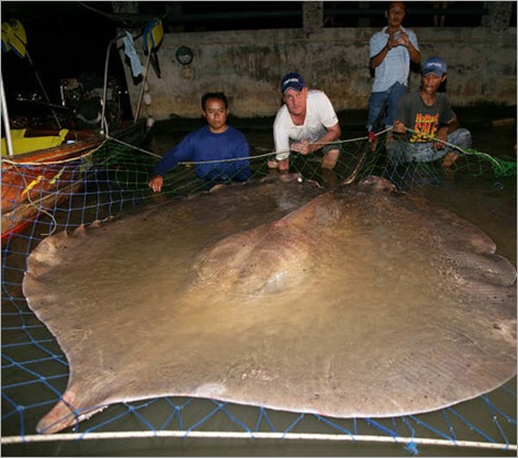 Giant Stingray 01