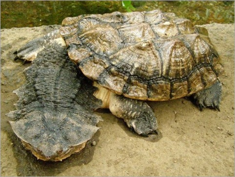 Mata Turtle