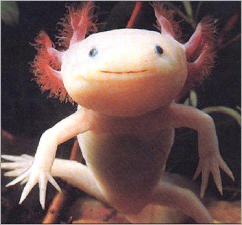 Axolotl01