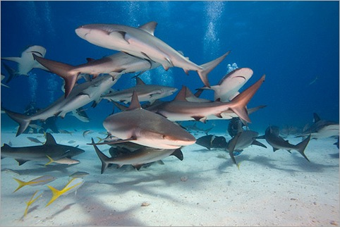Bahamas – Stuart Cove's shark feeding