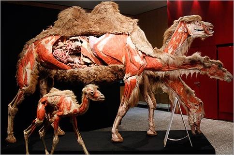 Camels plastic