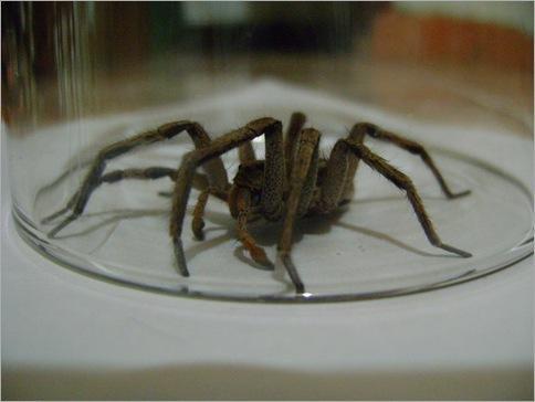 Wandering spider 01