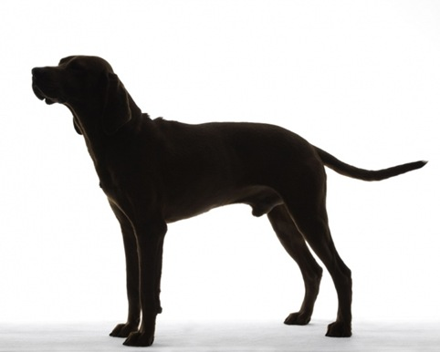 Redbone Coonhound 01