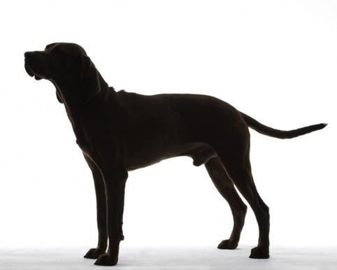 Redbone Coonhound 01
