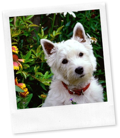 west-highland-white-terrier (1)