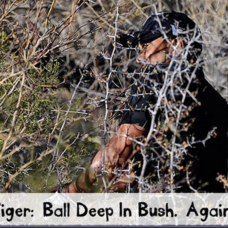 Tiger- Ball Deep In Bush. Again!.  GCD Caption Contest Winner