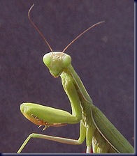 praying_mantis_green01