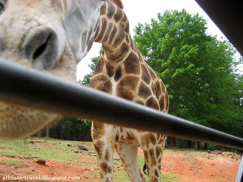 Кормить жирафа - инструкция