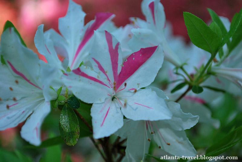 Цветы азалии