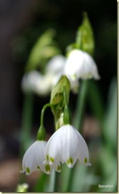 Snowdrops 4-4-09