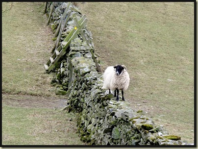 A strolling sheep