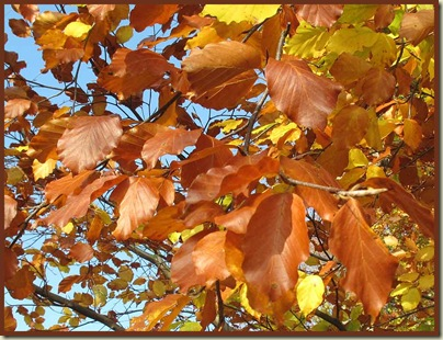 Beech leaves at Dunham Massey