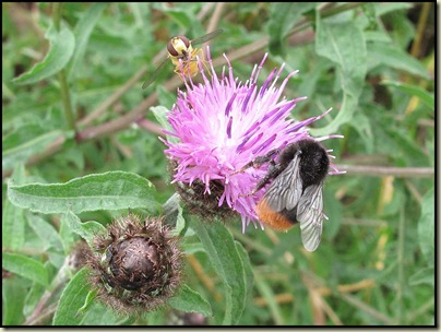 Bugs on Knapweed