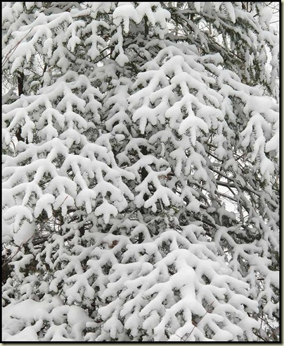 A snow laden tree