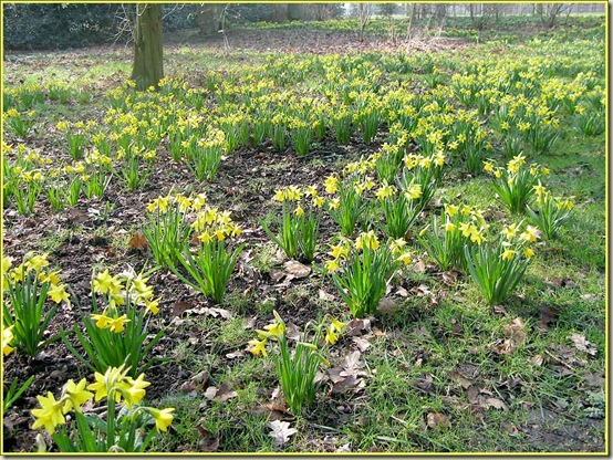 Daffodils at Dunham Massey on 3/3/11