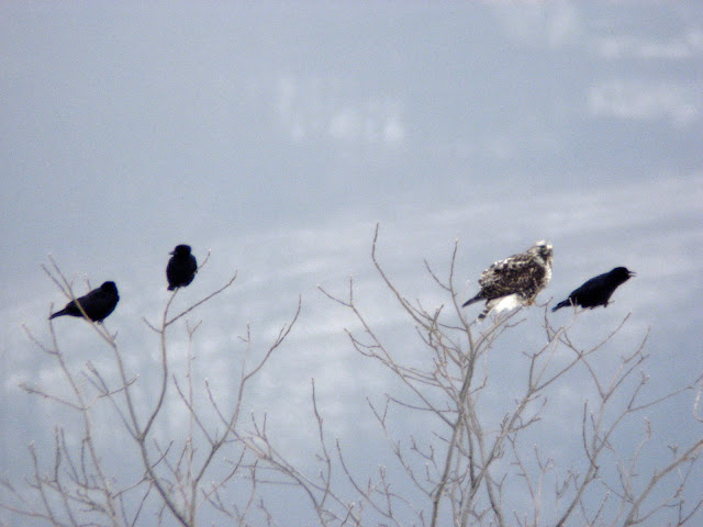 hawk and three crows