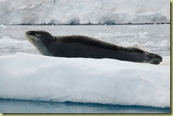 Mother Leopard Seal