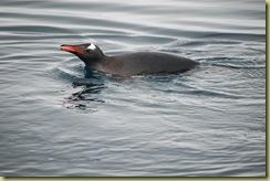 Gentoo Penguin (1)