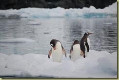 3 Penguins on flow