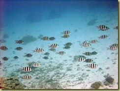 Zebra Fish Shoal