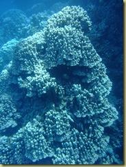 Coral Pinacle