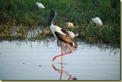 Jabiru Bird