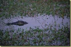 Croc resting