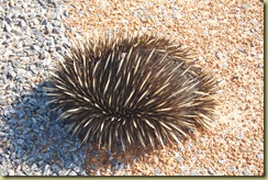 Rolled up Echidna