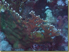 Fire Coral 1