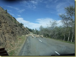Sheep Herdiing