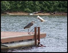 Heron on the swim raft