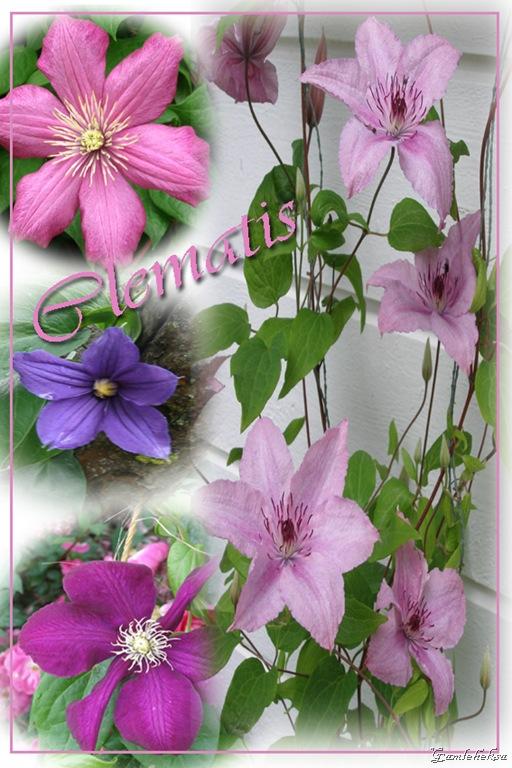 Clematis copy