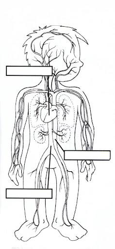 dibujo del sistema circulatorio:
