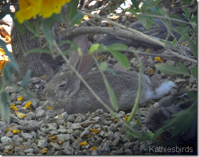 3. Desert cottontail