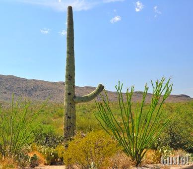 3. Saguaro n Ocotillo