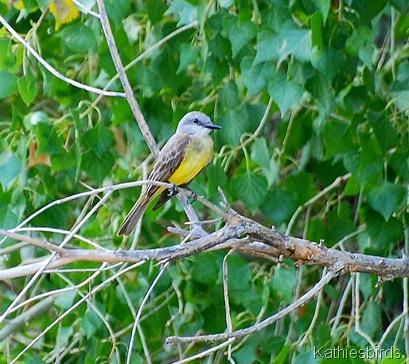 8. tropical kingbird