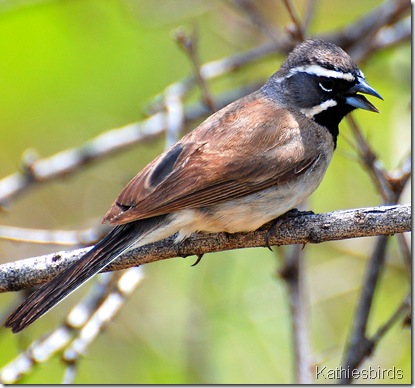 1.black-throated sparrow