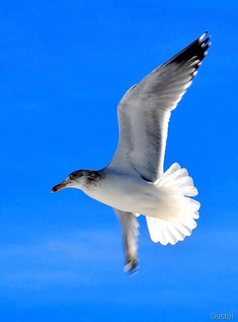 1. Gus' gull SWF
