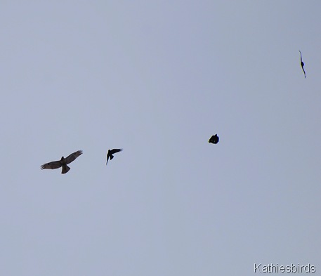10. hawk and crows
