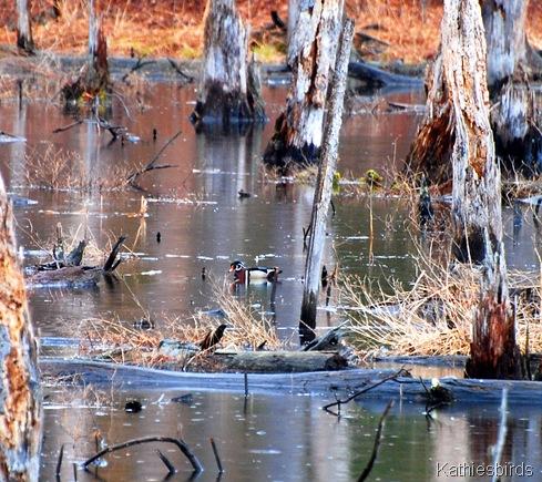 6. Wood duck-k