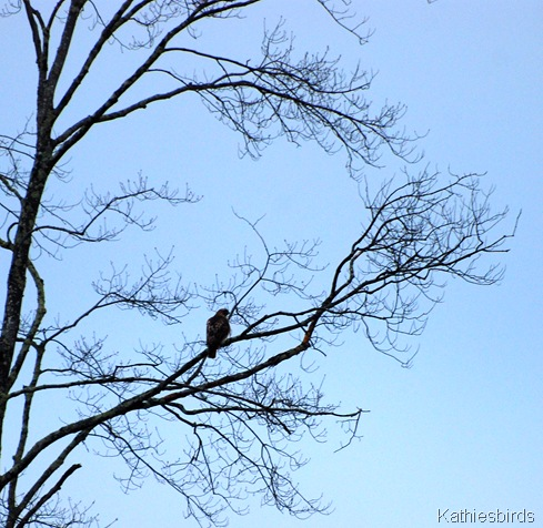 1. Red-tailed hawk_kab