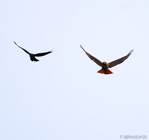 2. hawk being mobbed-kab