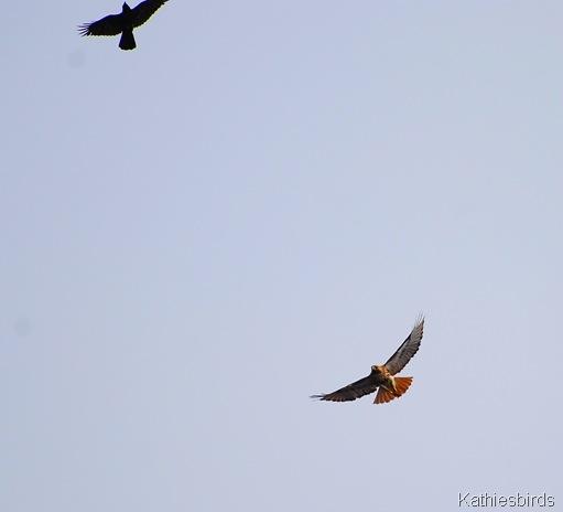 3. Hawk n crow-kab