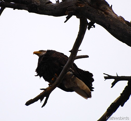 5. Bald eagle-kab