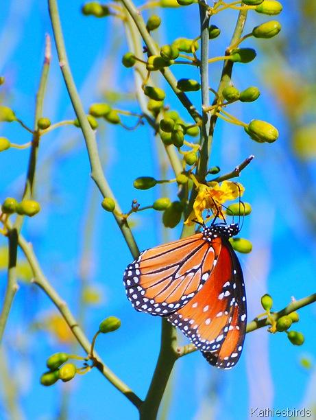 5. butterfly AZ 4-16-07-kab