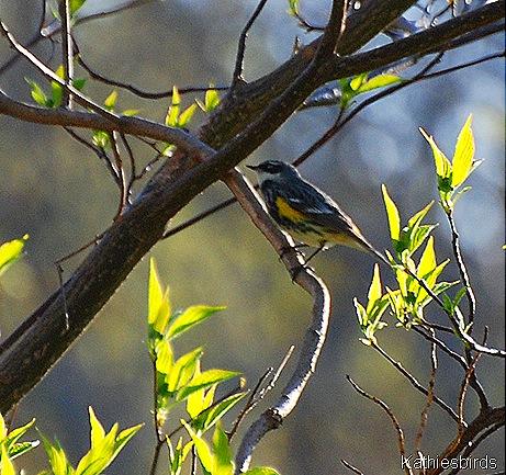 26. Yellow-Rumped Warbler 5-1-11